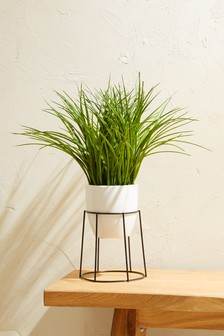 Grass Plant In Stand