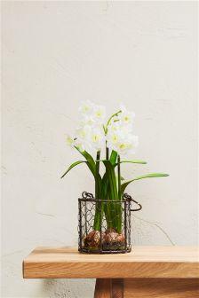 Daffodil Bulb Plant