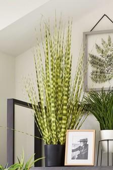 Zebra Grass Plant